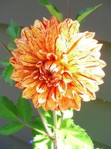 dahlia about 6 inches across ©booksandbuttons