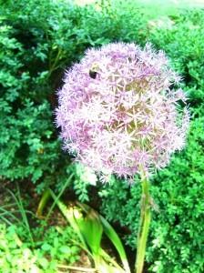 alium--see the bumblebee?