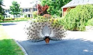 back of peacock! ©booksandbuttons