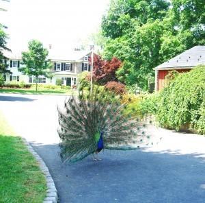welcoming peacock ©booksandbuttons