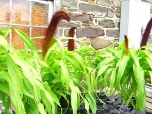 No, they're millet---a plant in the corn family---aren't they fun? ©booksandbuttons