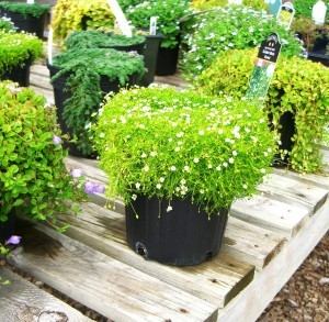 "a pot of golden moss ""Aurea"" in the ground cover section of the nursery"