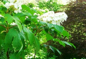oakleaf hydrangea--there are flowers, but blossoms aren't the point in this garden ©booksandbuttons