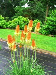 Kniphofia (poker plant) at Burpee farm