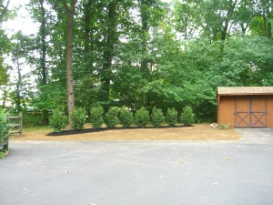 Row of nine skip laurels at end of driveway. Also known as Cherry or English laurel. ©booksandbuttons